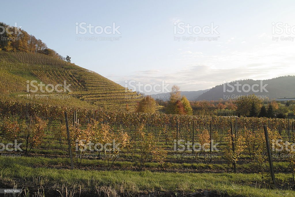 vineyard in fall Baden / Germany  dp1 stock photo