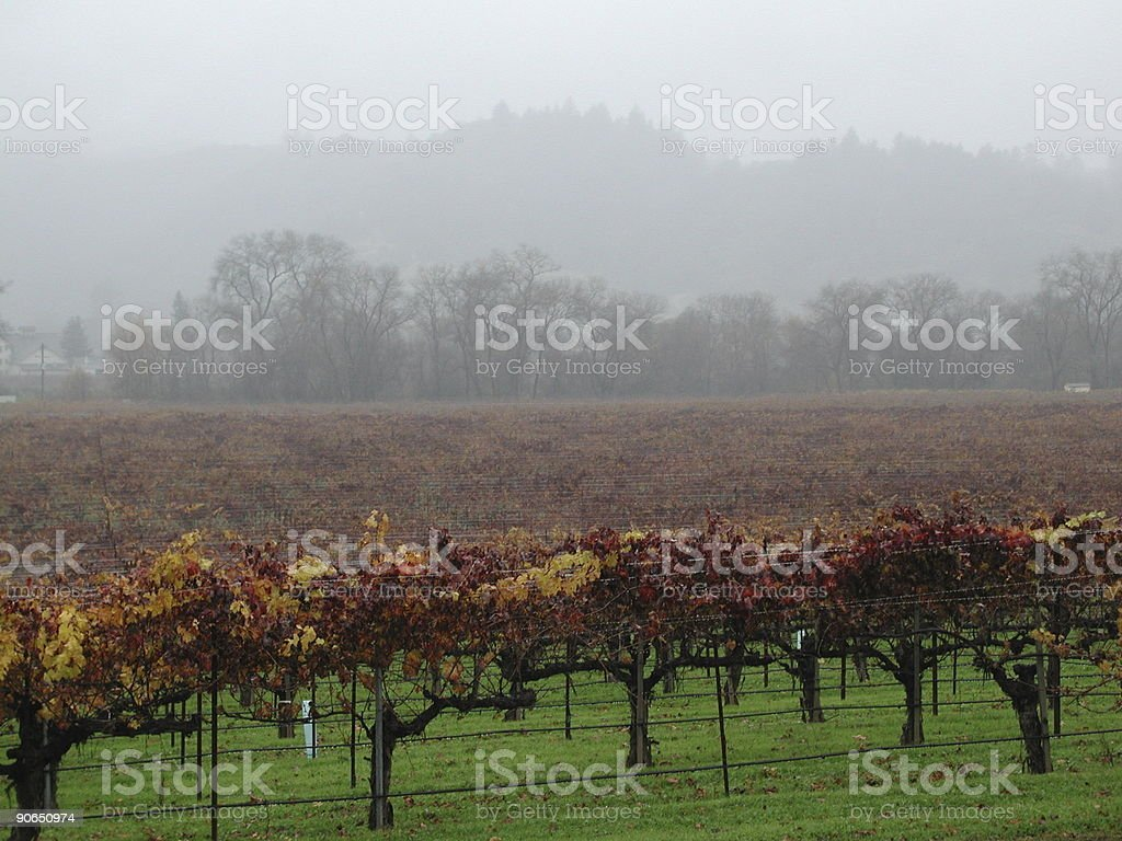 vineyard in fall colors royalty-free stock photo