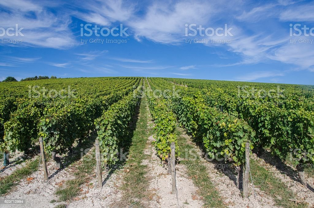 Vineyard in fall in the Loire Valley stock photo