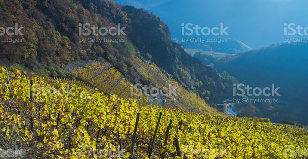 Vineyard in Fall stock photo
