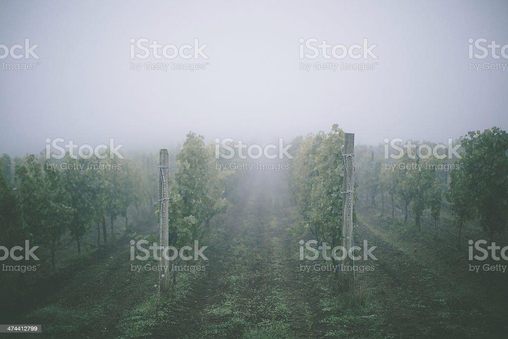 Vineyard in Fog stock photo