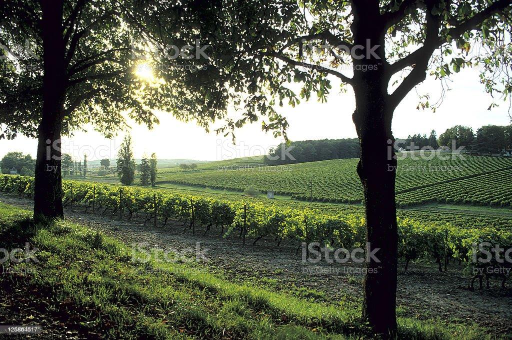 Vineyard in France,Charente. stock photo