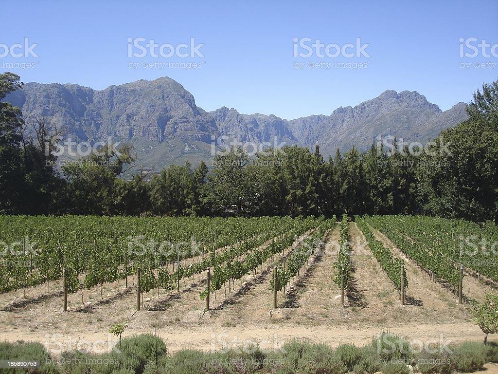Vineyard in Franschhoek, Cape Town stock photo