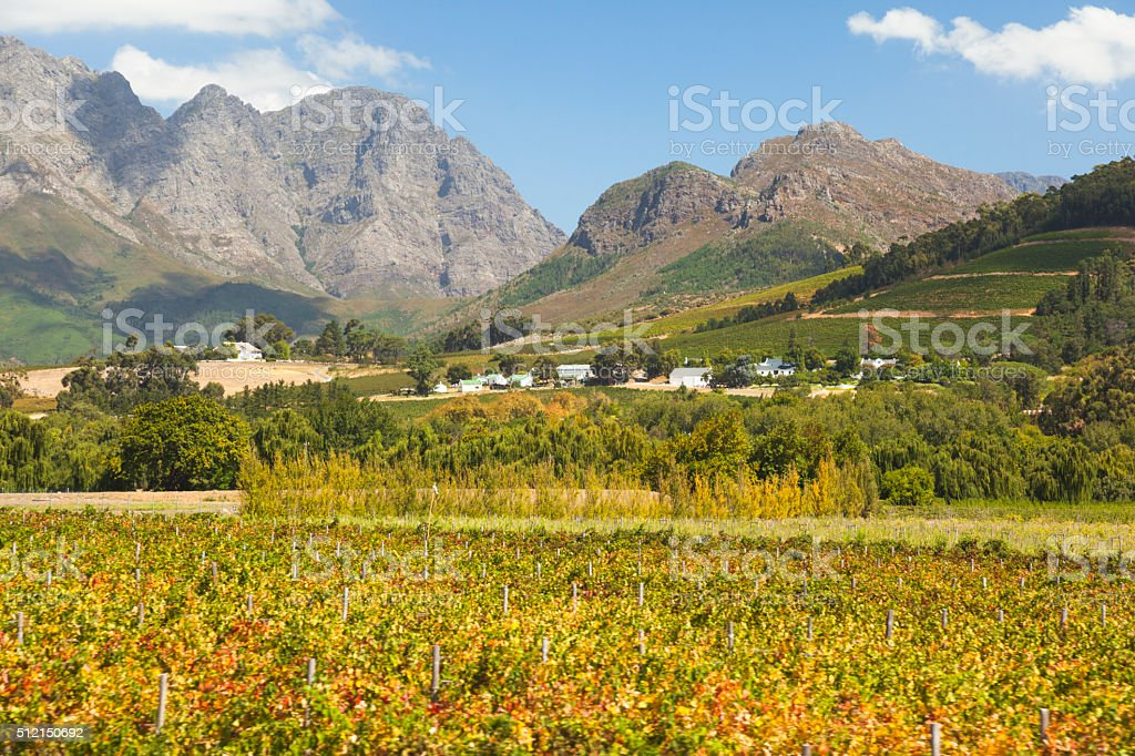 Vineyard in Franschhoek, Western Cape Province, South Africa stock photo