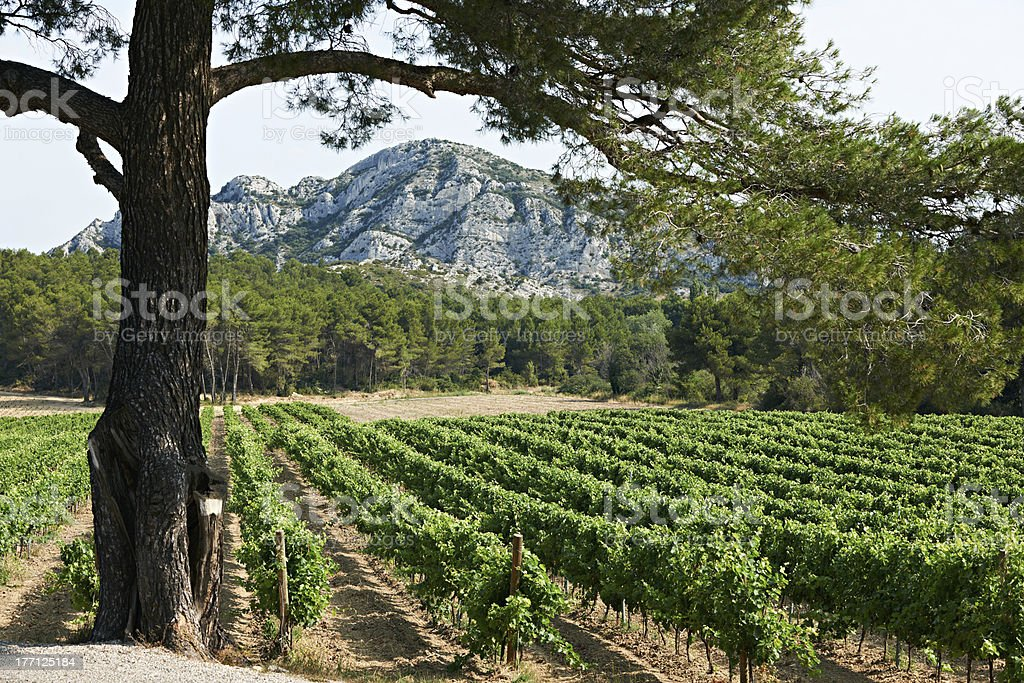 Vineyard in French Provence stock photo