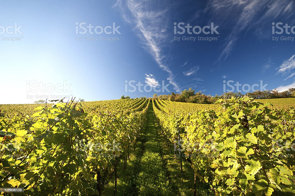 Vineyard in Germany royalty-free stock photo
