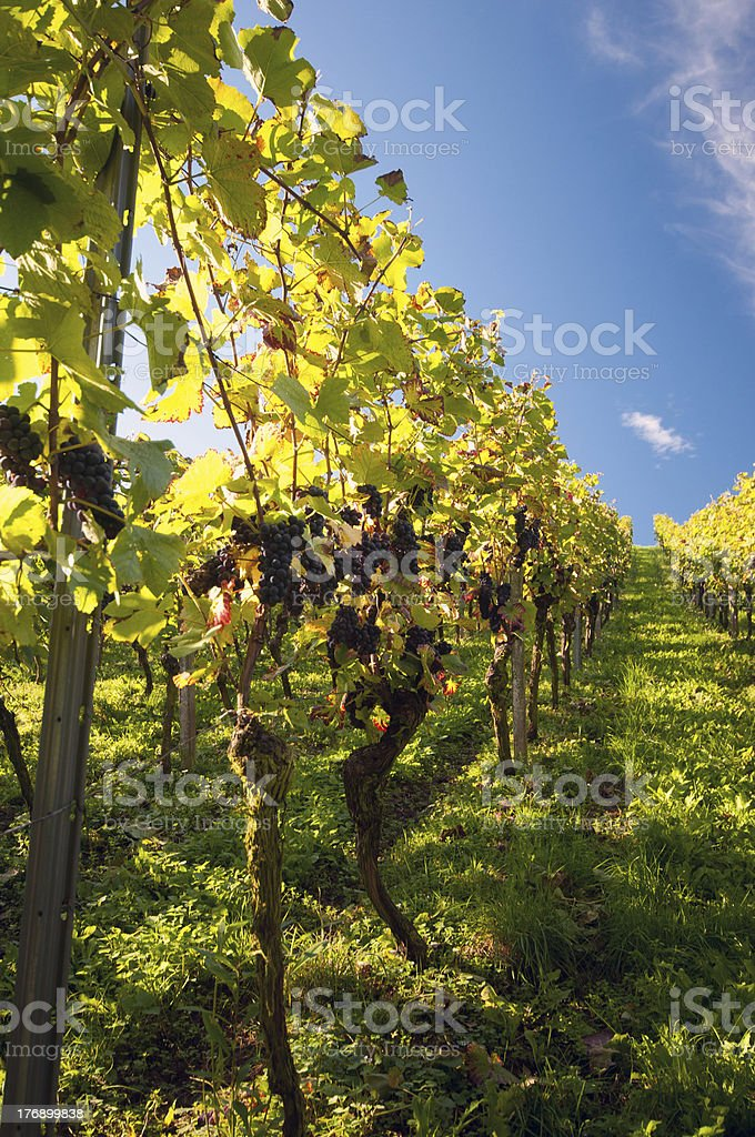 Vineyard in Germany royalty-free stock photo
