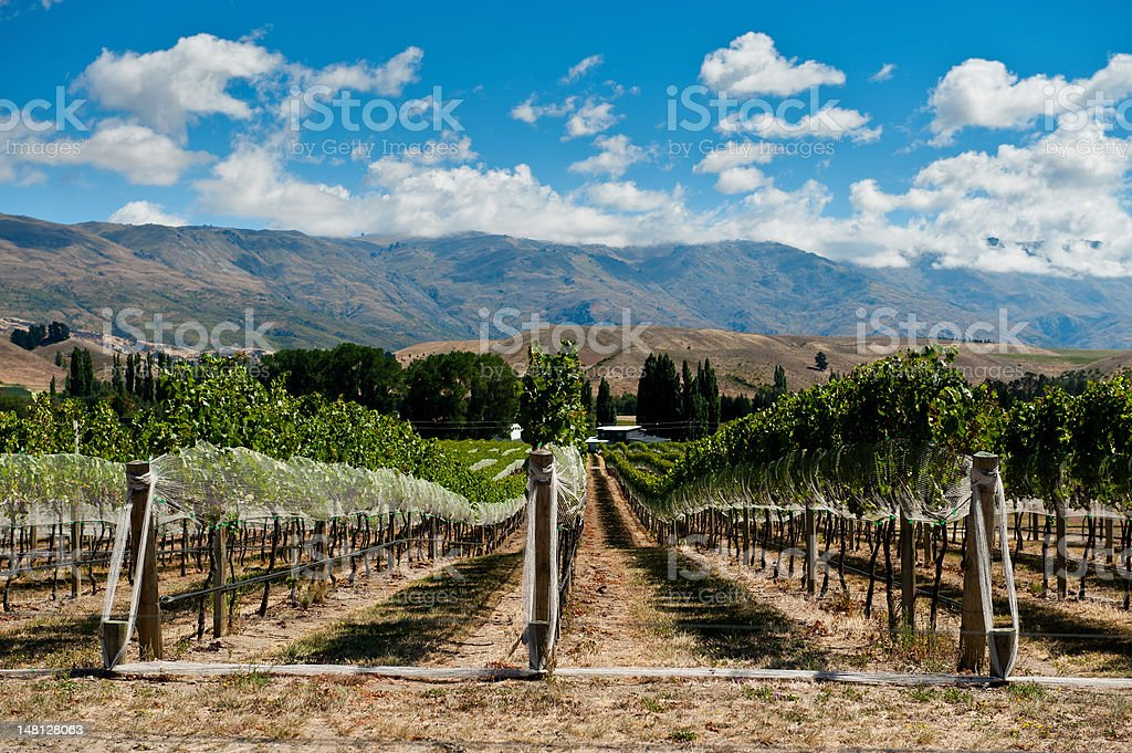 Vineyard in Gibbston Valley stock photo