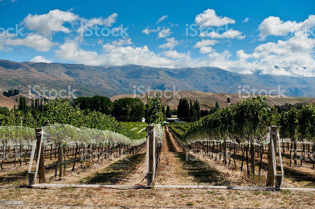 Vineyard in Gibbston Valley stock photo