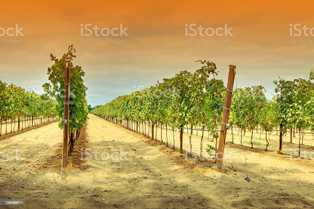 Vineyard in Italy royalty-free stock photo