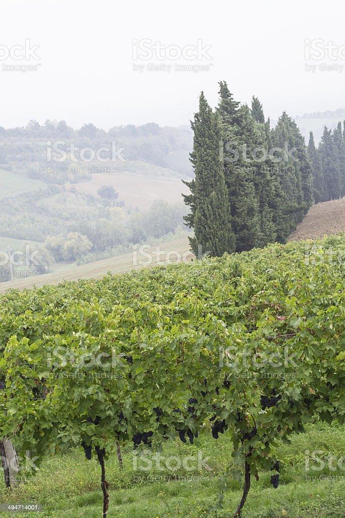 Vineyard in Italy stock photo