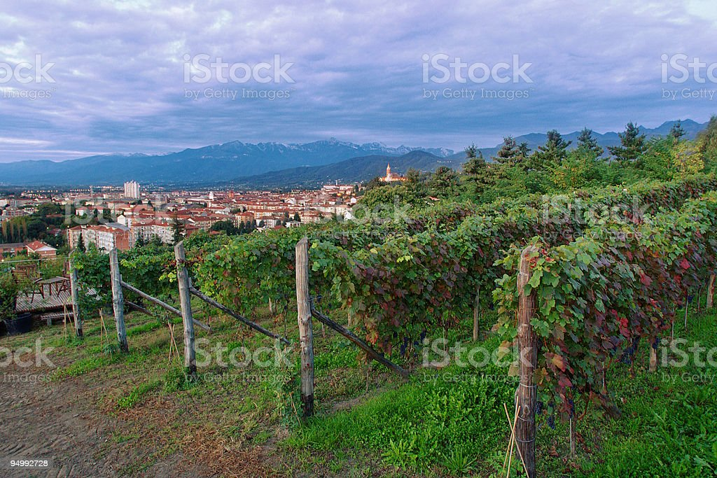 Vineyard in Italy, rows of grapevines, cloudy sky on background royalty-free stock photo