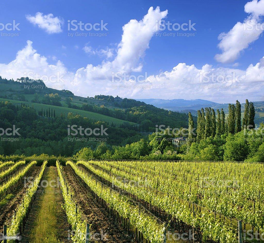 Vineyard in Italy, Tuscany royalty-free stock photo