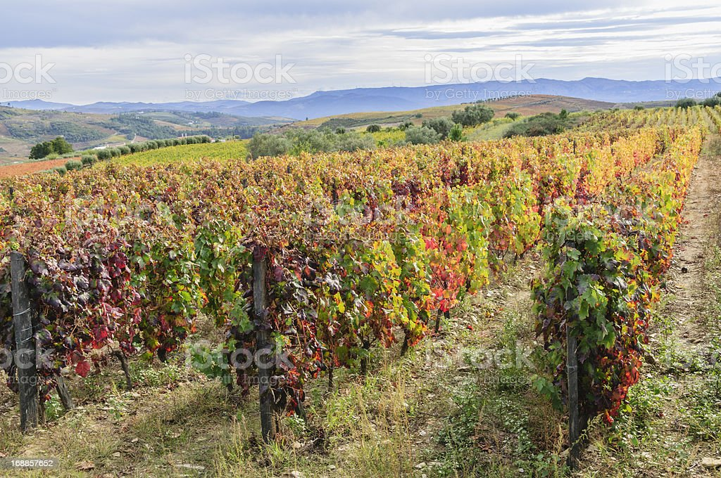 Vineyard in its autumn colors stock photo