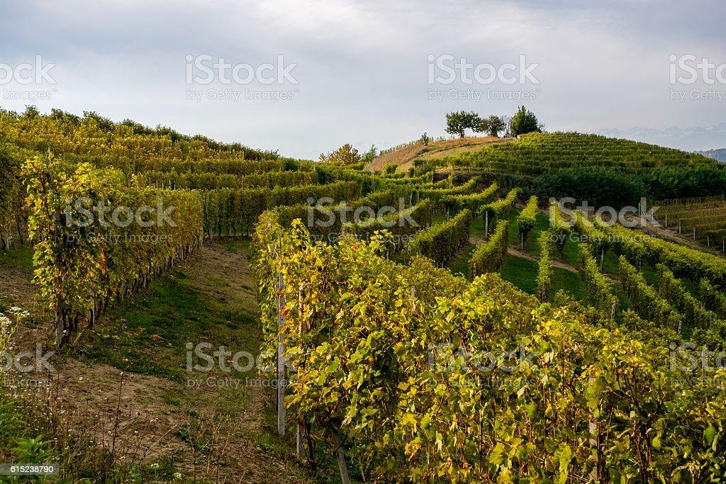 Vineyard in Langhe Italy stock photo