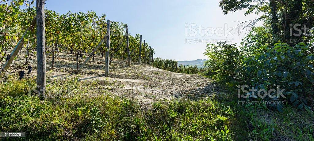 Vineyard in Langhe (Unesco World Heritage site) stock photo