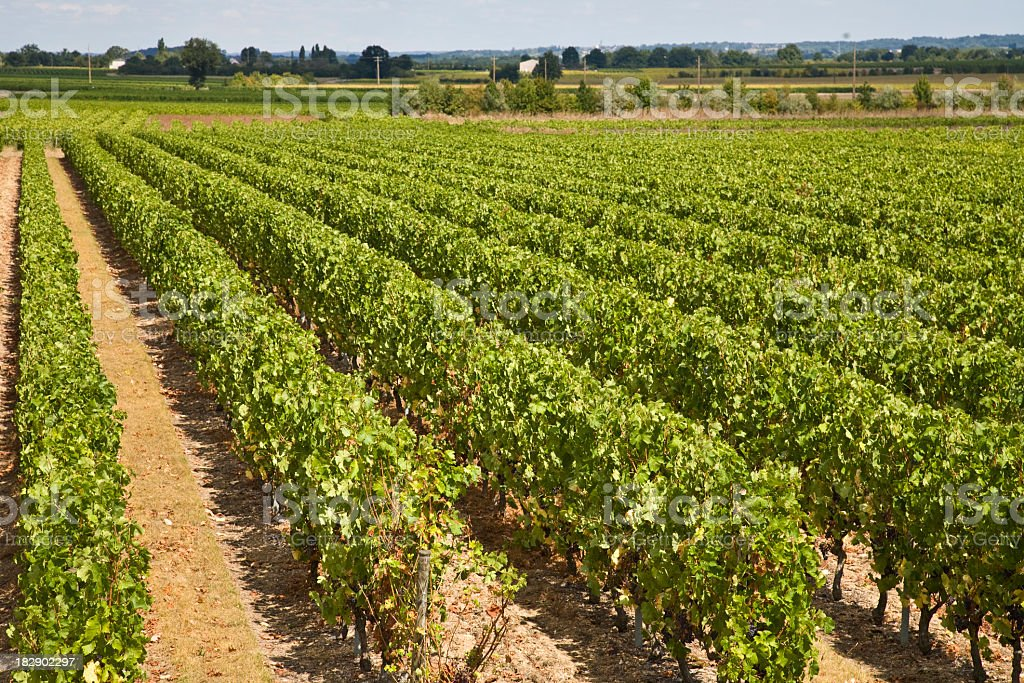 Vineyard in Loire Valley, France stock photo