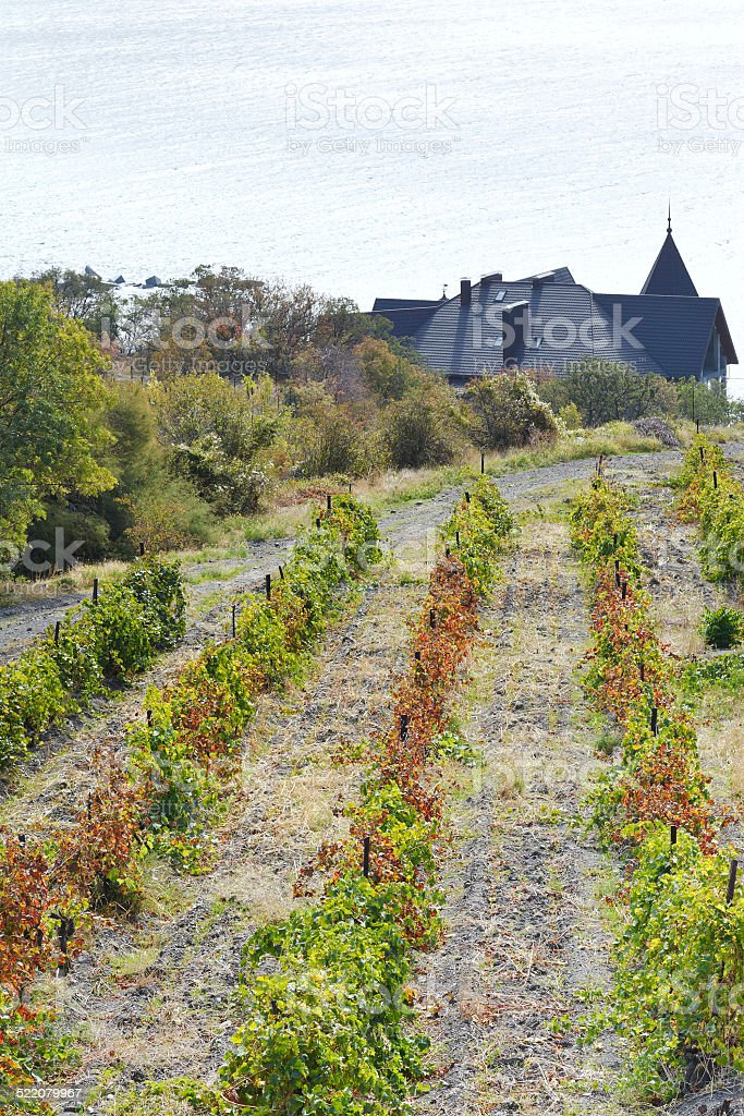 vineyard in Massandra district and Black Sea stock photo