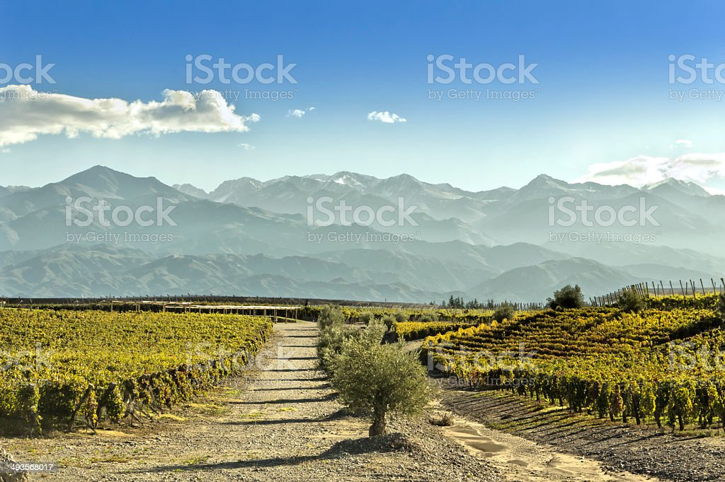 Vineyard in Mendoza royalty-free stock photo