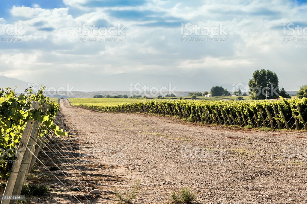 Vineyard in Mendoza stock photo