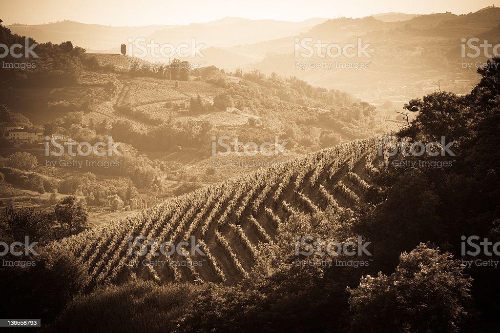 Vineyard in Monferrato - Piedmont, Italy stock photo