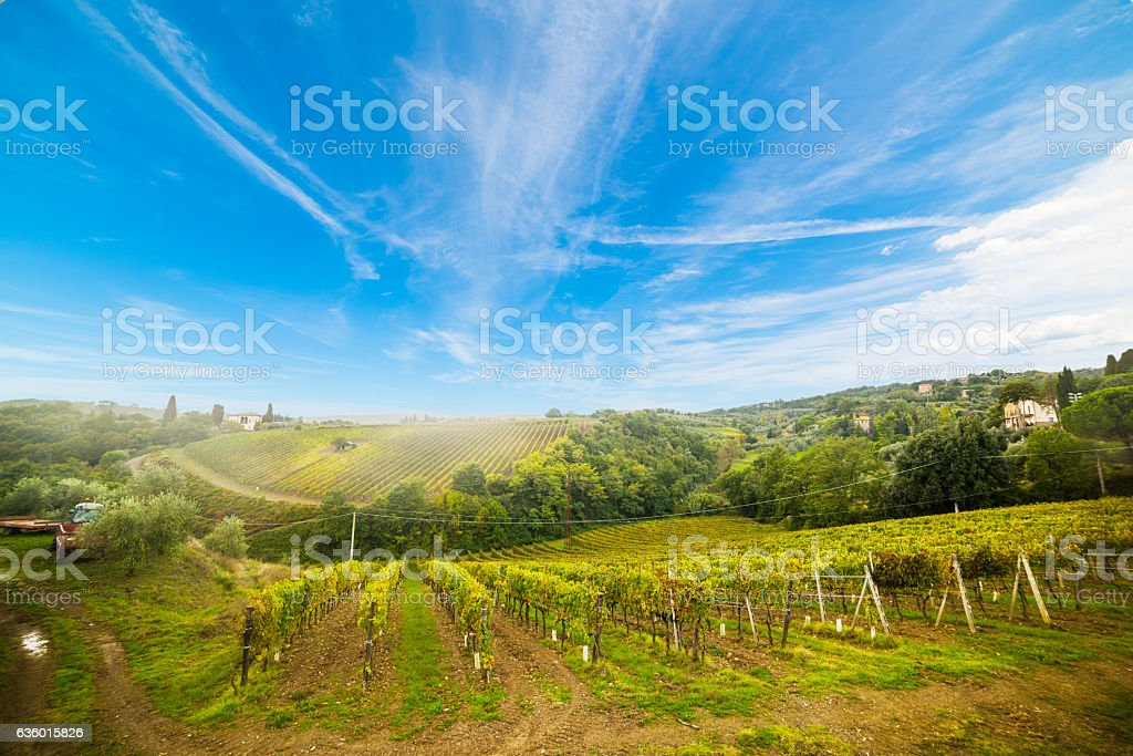 Vineyard in Montalcino stock photo