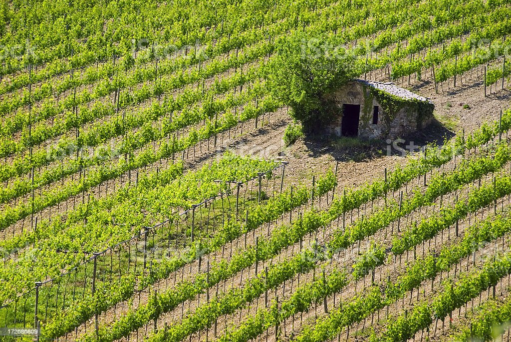Vineyard in Montalcino Tuscany Italy stock photo