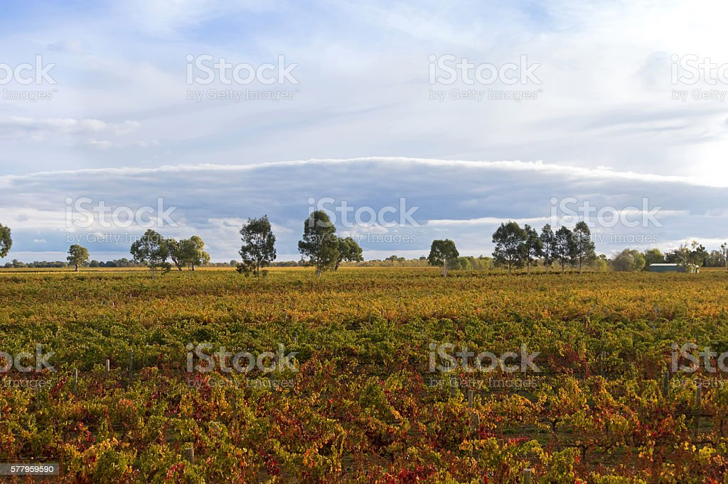Vineyard in morning in Coonawarra winery region during Autume, Australia stock photo