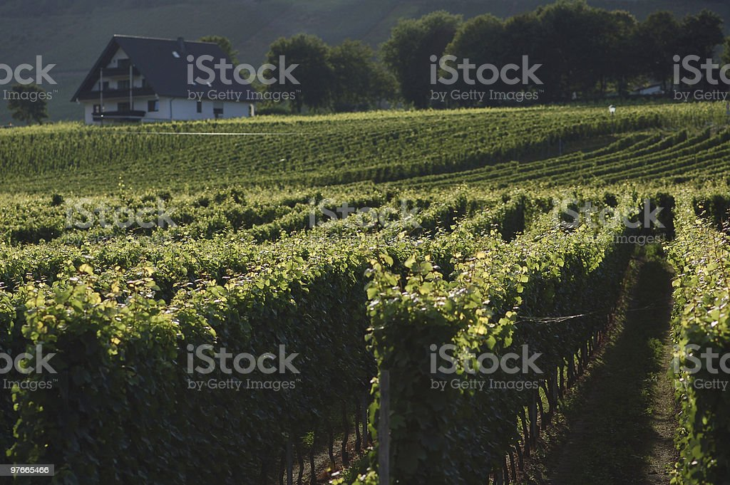 Vineyard in mosel valley stock photo