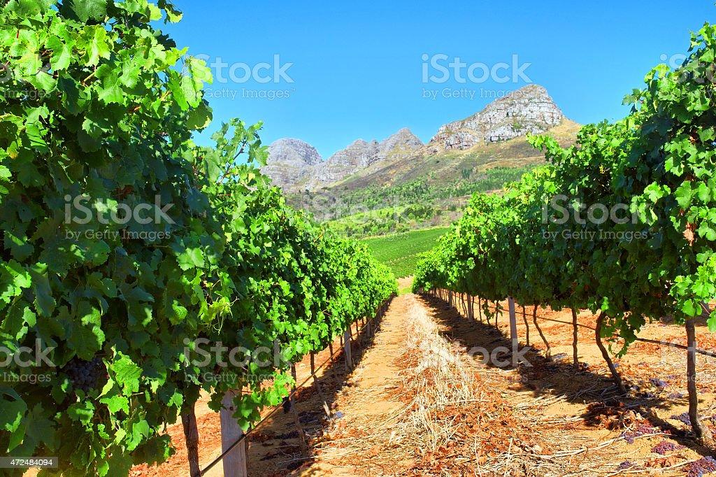 Vineyard in mountains stock photo