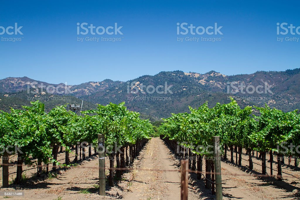 Vineyard in Napa County Califronia stock photo