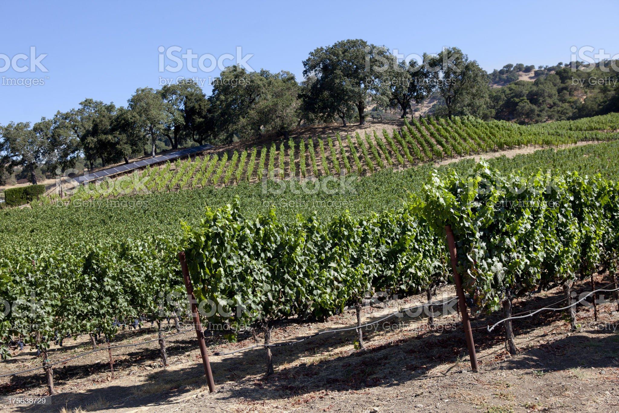 Vineyard in Napa Valley California royalty-free stock photo