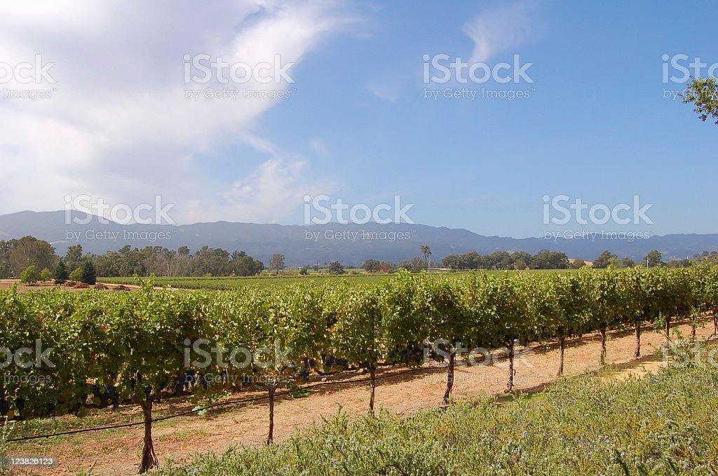 Vineyard in Napa Valley royalty-free stock photo