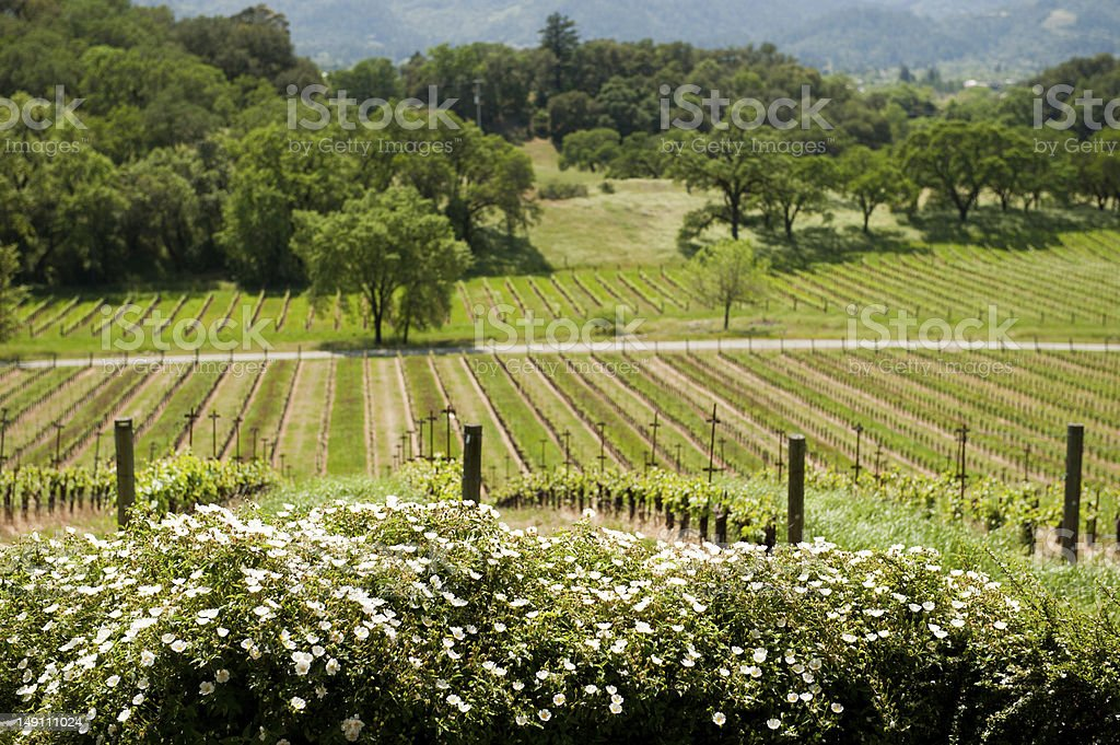 Vineyard in Napa Valley royalty-free stock photo