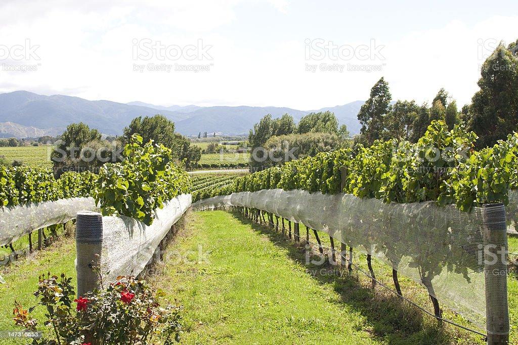 Vineyard in NZ stock photo