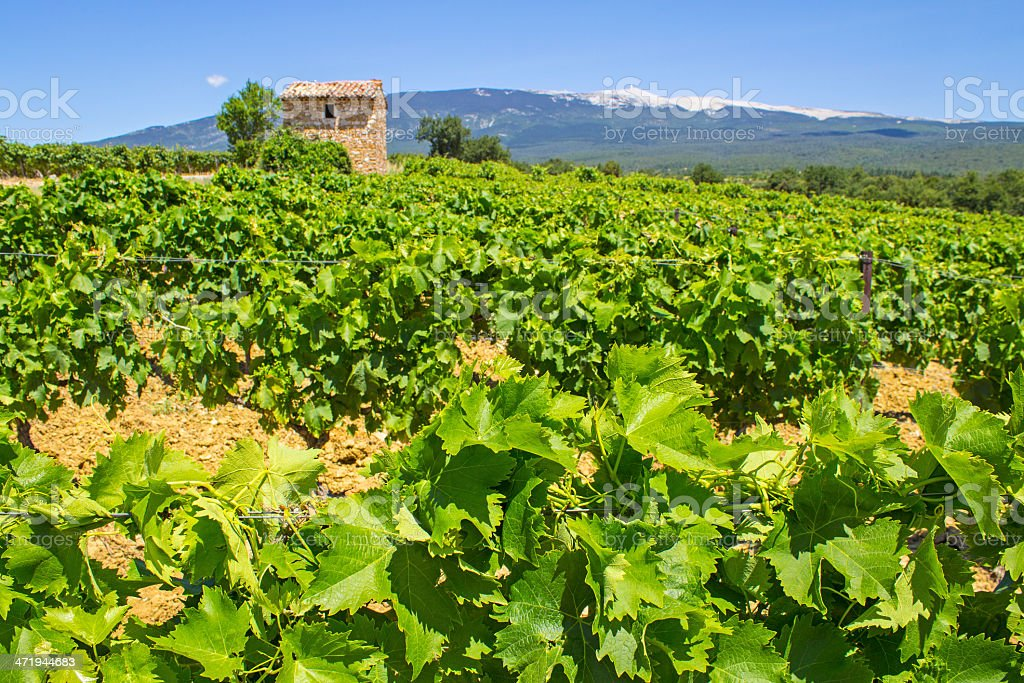 Vineyard in Provence. France. stock photo