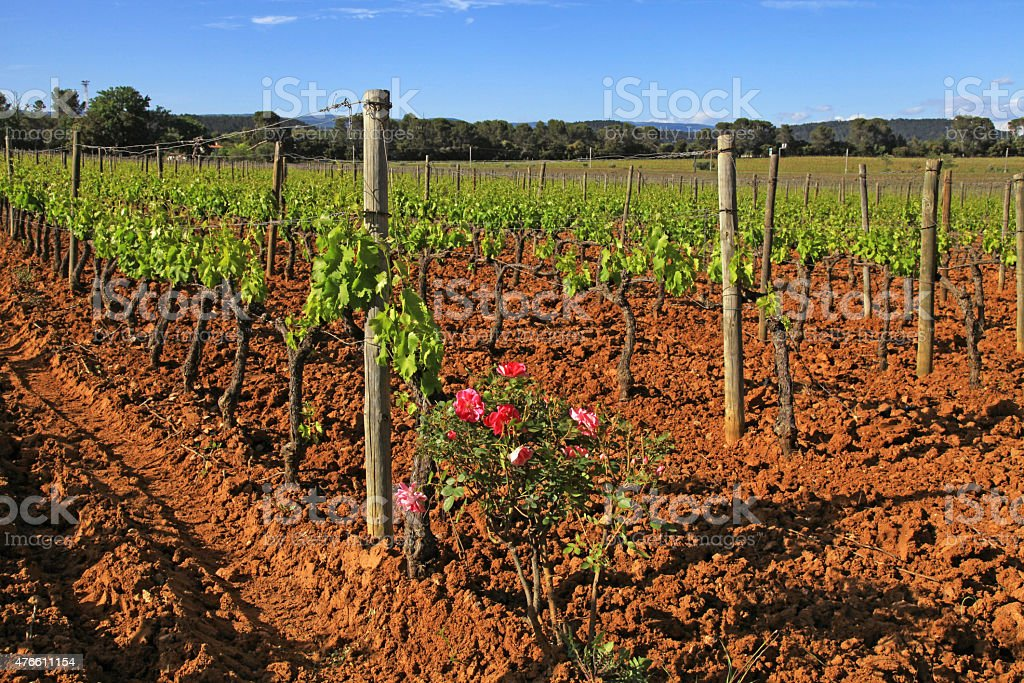 vineyard in Provence, France stock photo