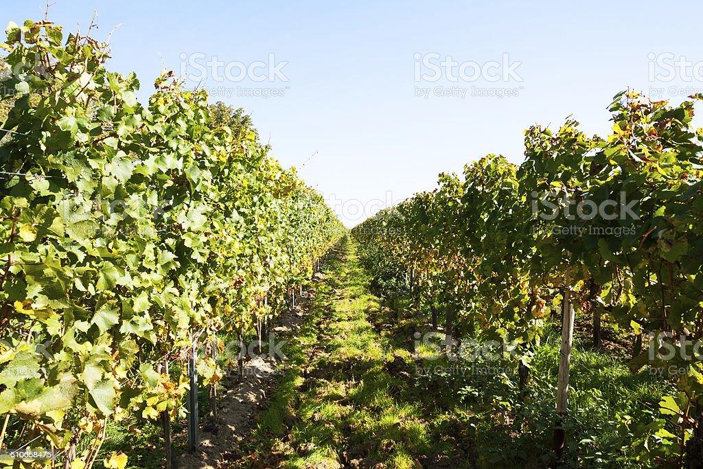 Vineyard in Rheingau stock photo