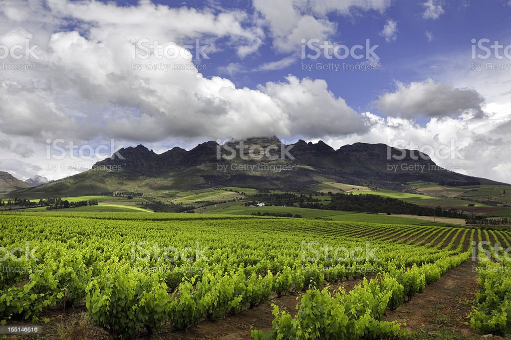 Vineyard in South Africa royalty-free stock photo