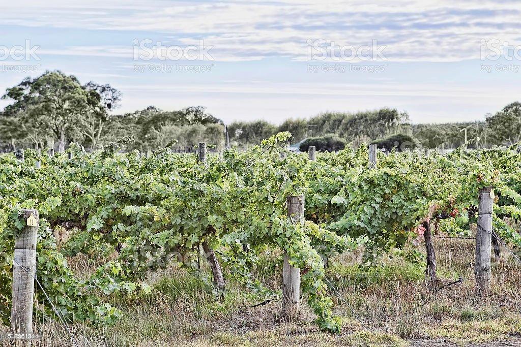 Vineyard in South Australia stock photo