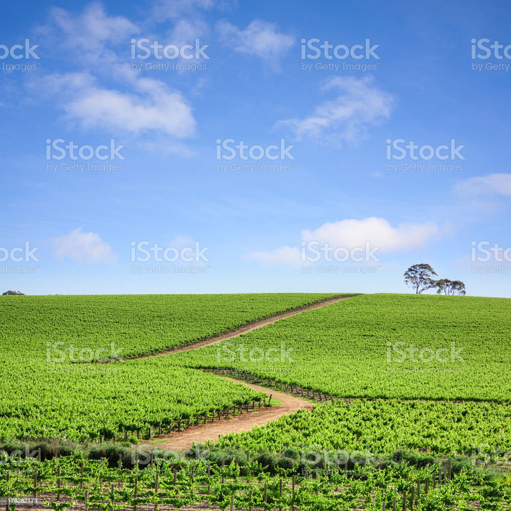 A vineyard in southern Australia  stock photo