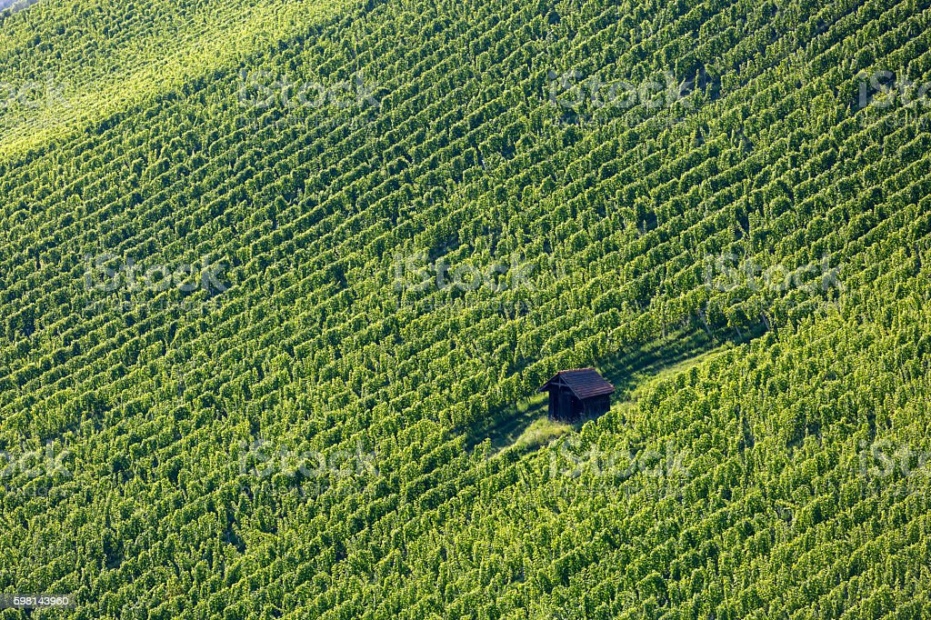 vineyard in southern styria, austria stock photo