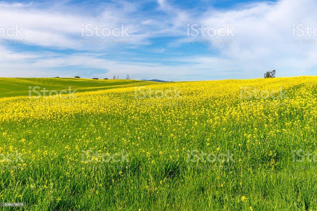Vineyard in Spring , Napa, California stock photo