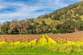 Vineyard in Spring , Napa, California