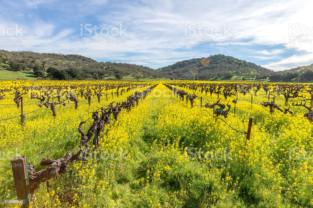 Vineyard in Spring , Napa, California stock photo