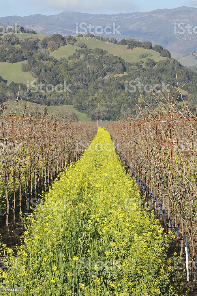 Vineyard in Spring stock photo
