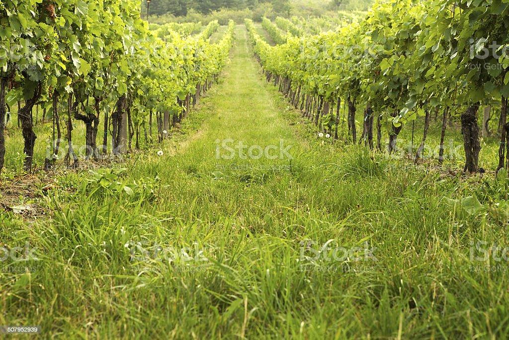 Vineyard in spring sunny day stock photo
