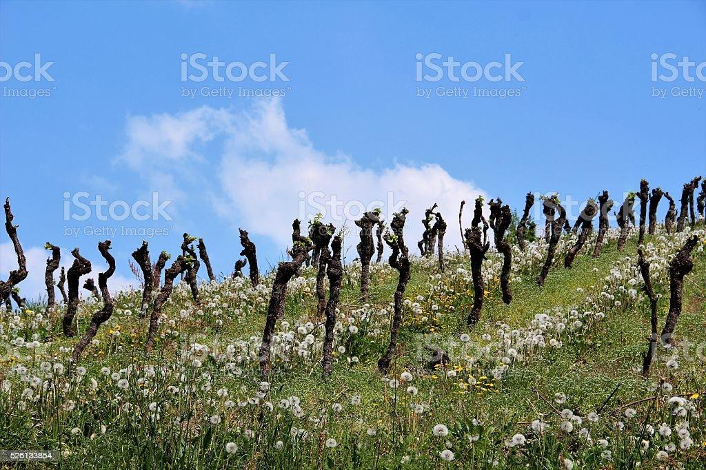 Vineyard in springtime stock photo
