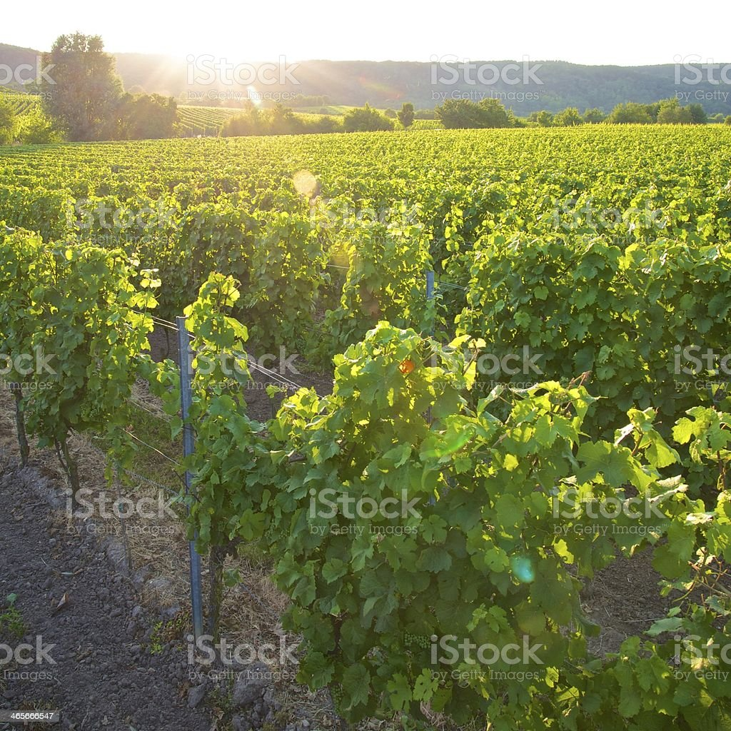 Vineyard in Summer royalty-free stock photo
