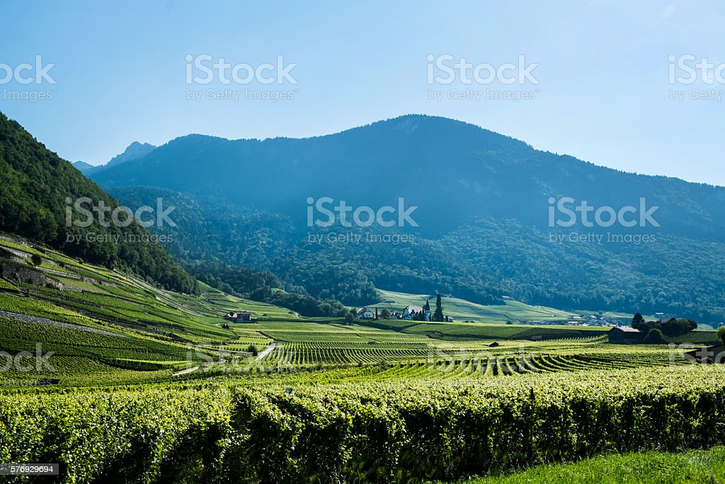Vineyard in Switzaland stock photo